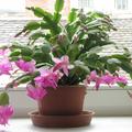 Karácsonykor is virágzó kaktusz
