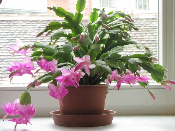 karacsonyi-kaktusz-1.jpg