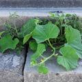 Paradicsom, tök, görögdinnye virágzik a rakpart kövén. Maga a Duna telepítette a kiskertet az Erzsébet hídnál