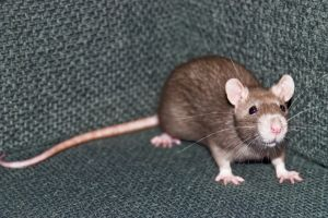 1078111_one_young_rat_in_the_corner_of_a_chair[1].jpg