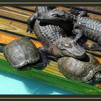 Gatorland - Florida aligátor fővárosa