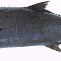 Vajhal, Kígyómakréla, Escolar, White Tuna