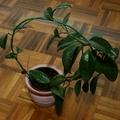 2010.11.17. - Viaszvirág élet