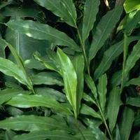 MALABÁRI KARDAMOM     Elettaria cardamomum