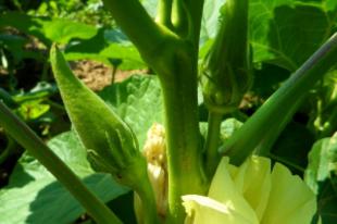 Bámia — Okra — Bhindi — Abelmoschus esculentus — Hibiscus esculentus