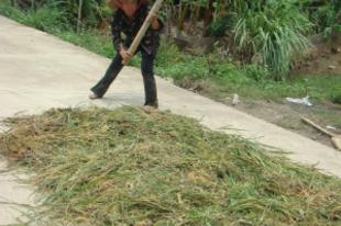 Ki látott már rizscséplést?