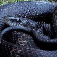A Fekete Kígyó éve