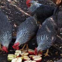 Városi farm: működhet-e  fenntartható módon?