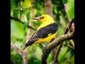 Bird Sound/MadárHang #17
