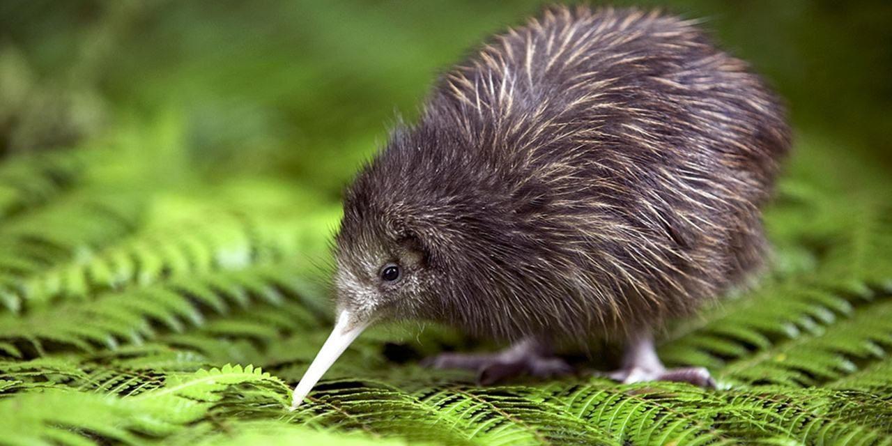 kiwi-bird-1280x640.jpeg