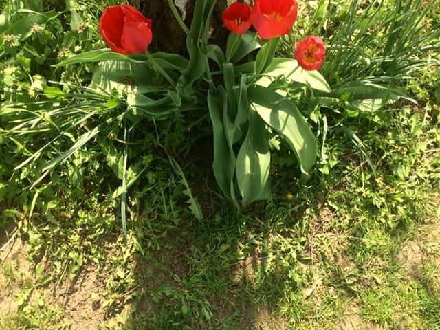 A fa, a tulipánok - és a történet, ami mögötte van
