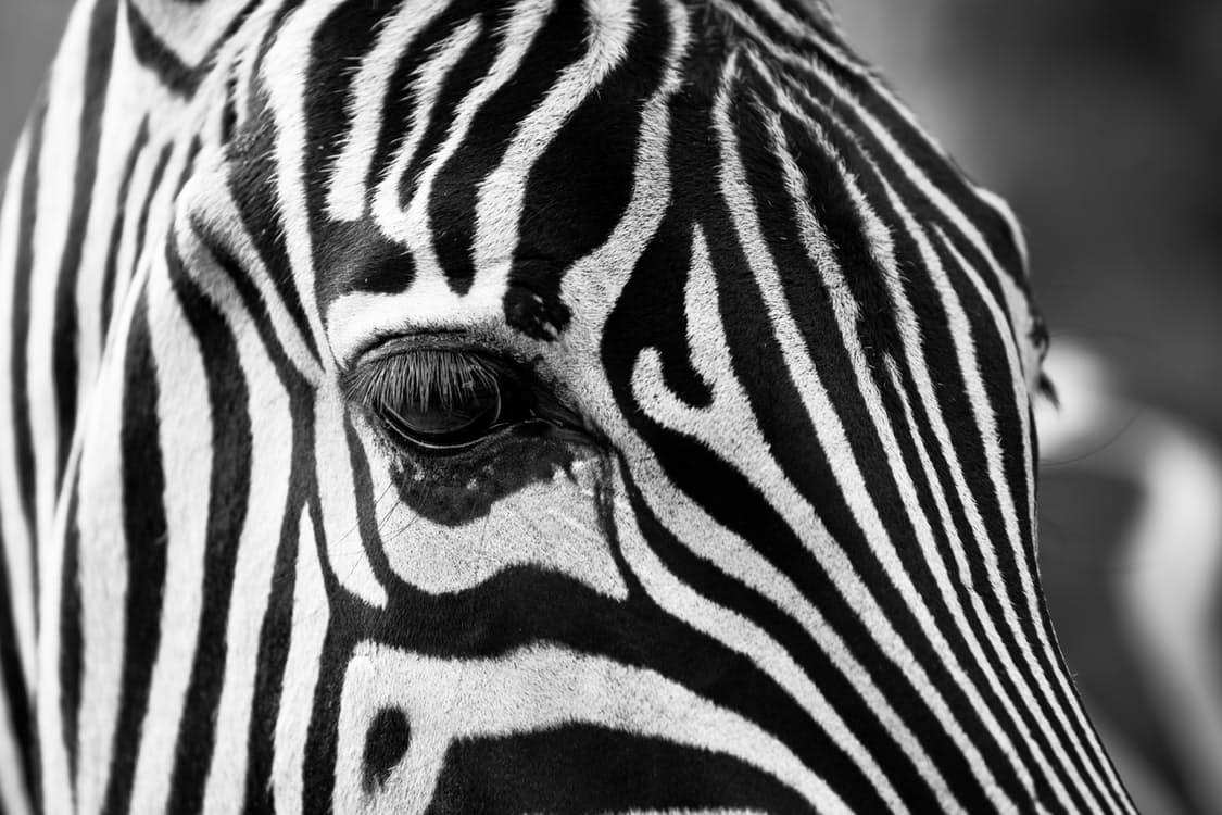 zebra2.jpeg