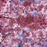 Sakura és hanami Tokióban, pezsgővel és a világ legfinomabb tojásos szendójával