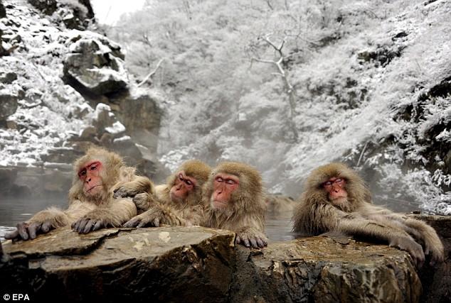 snow monkey3.jpg