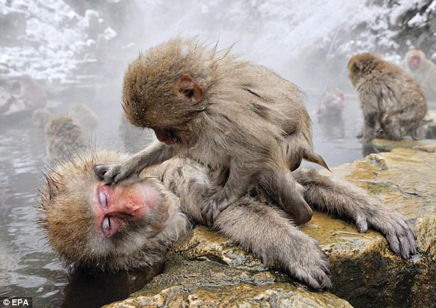 snow monkey4.jpg