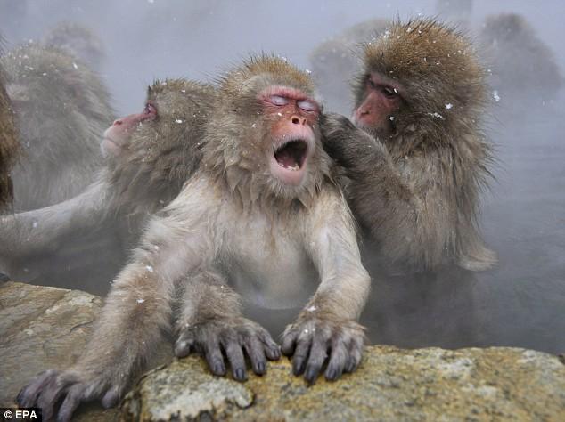 snow monkey5.jpg