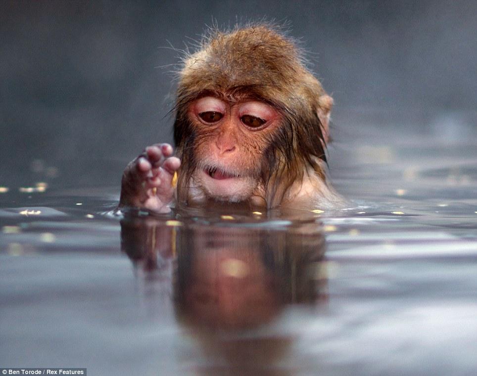 snow monkey_ben torode3.jpg