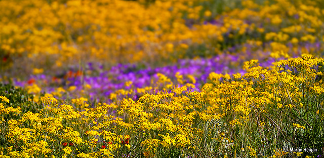 namaqualand daisy daisies 14.jpg