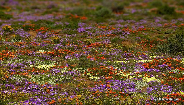 namaqualand daisy daisies 15.jpg