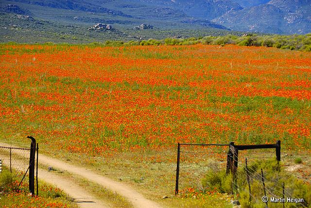 namaqualand daisy daisies 23.jpg