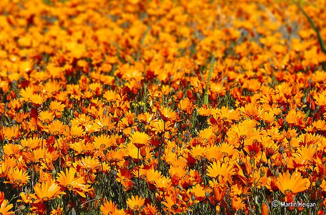 namaqualand daisy daisies 3.jpg