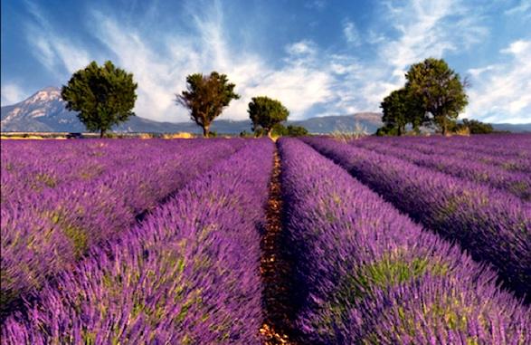 Provence levendula mező.jpg