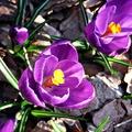 Álomszép krókuszok a márciusi kertben!