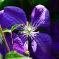 Kék és lila kerti kedvenceink
