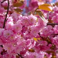 9 tavasszal virágzó cserje és díszfa