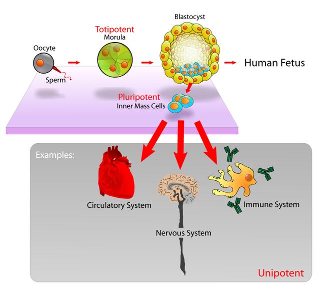 656px-Stem_cells_diagram.png