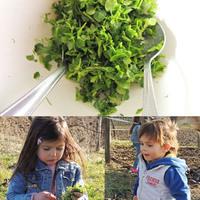 Tavaszi zöld: tyúkhúr