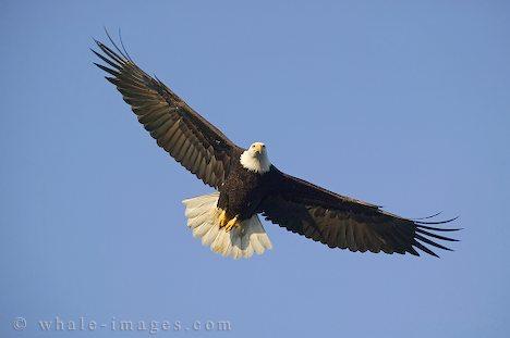 bald-eagle-7.jpg