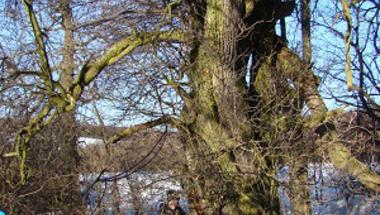 Zircen van az ország legnagyobb vadkörtefája! - hatalmas fákat kerestünk fel