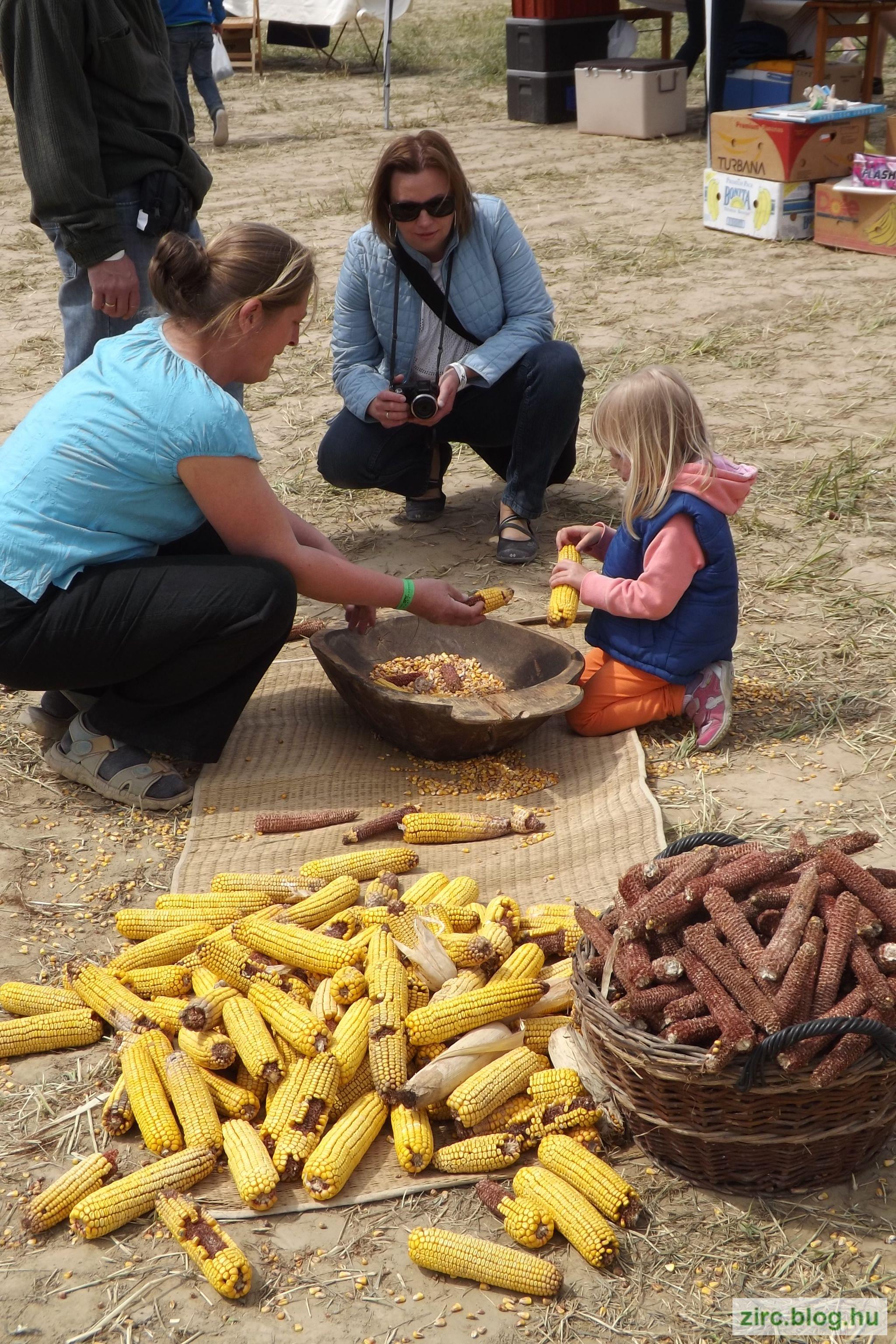 Kukoricamorzsolás a Bakony Szíve Turisztikai Szövetség udvarán