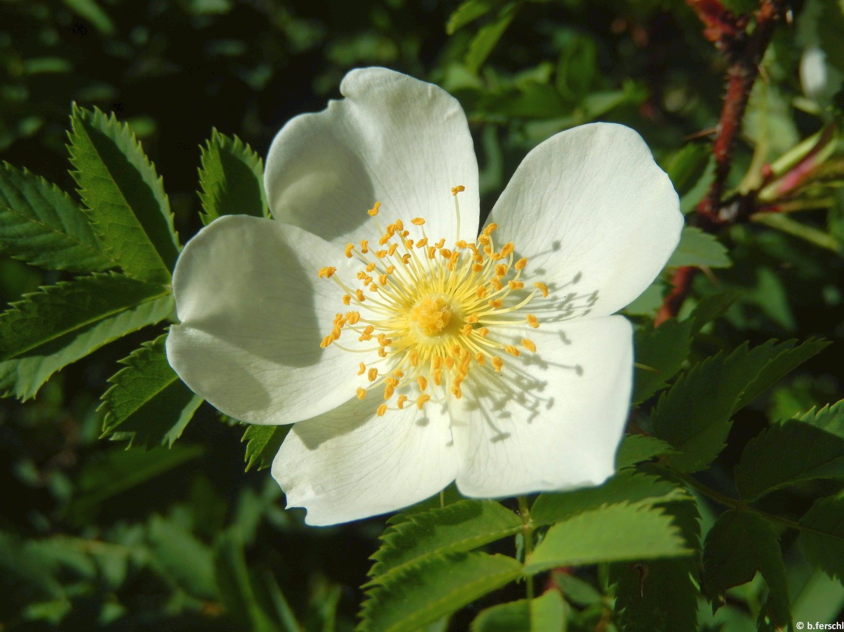 A jajrózsa (Rosa spinosissima) alacsony bokrain bőven hozza egyszerű virágait