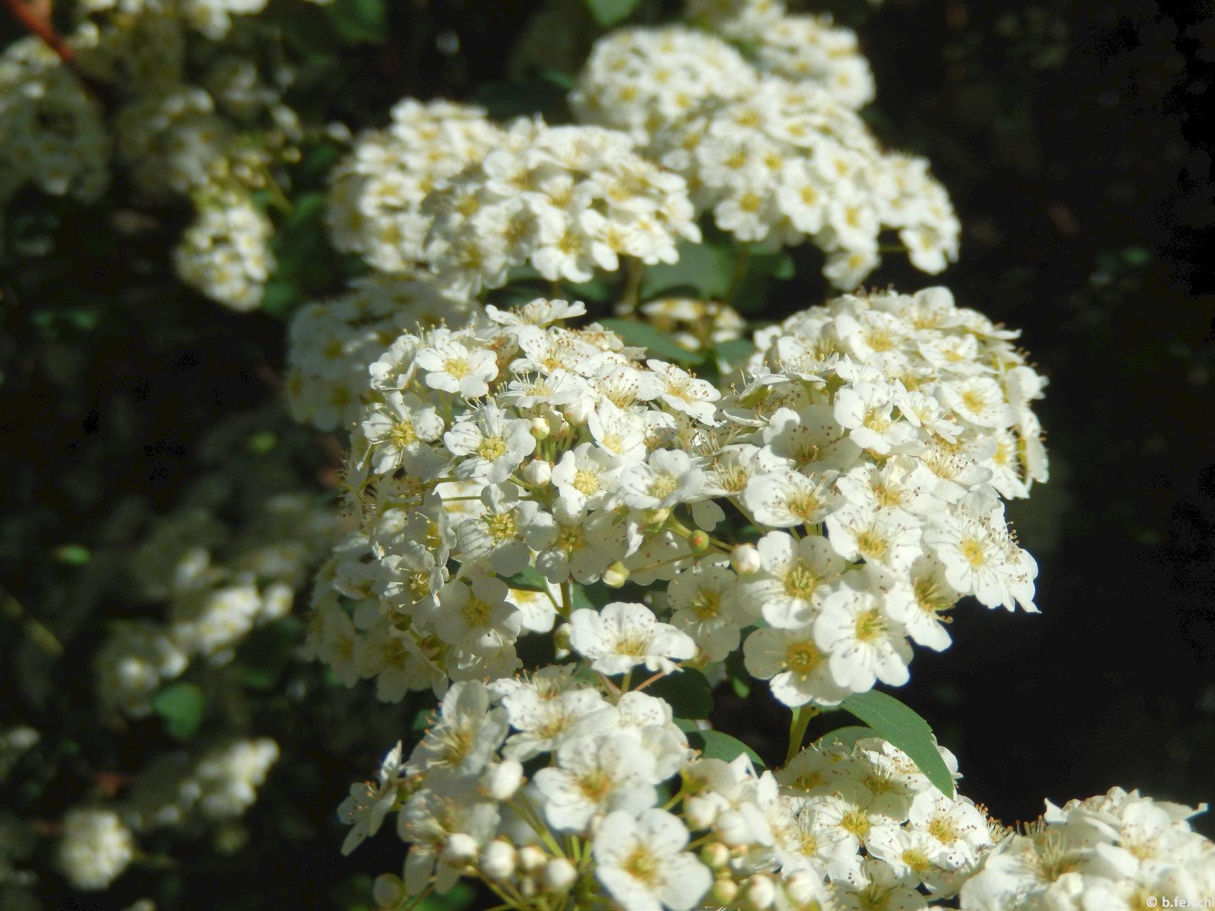 A kerti gyöngyvessző (Spiraea x vanhouttei) ívesen lehajló vesszőin a leveleket szinte nem is látjuk a fehér virágok alatt