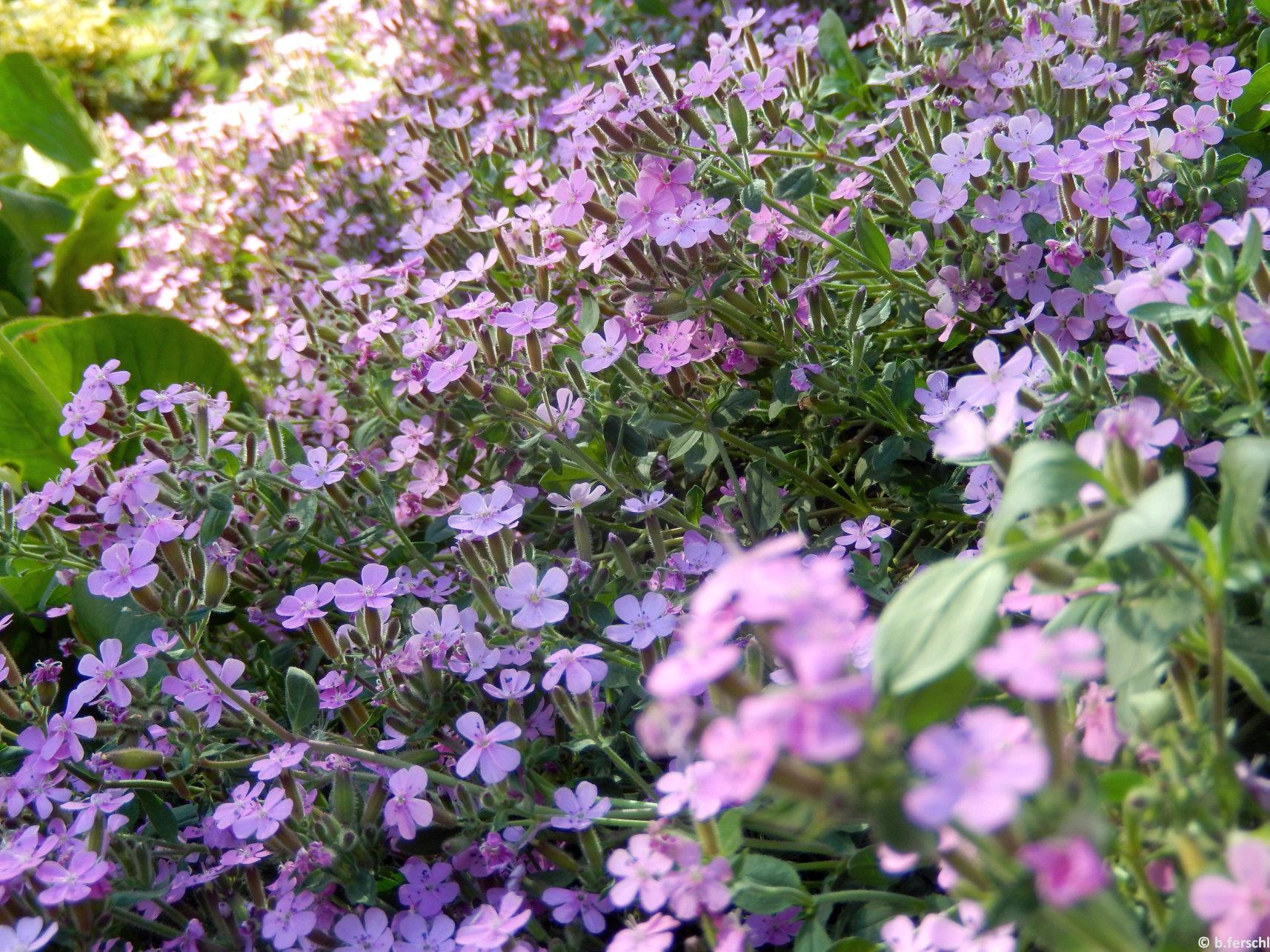 A piros szappanfű (Saponaria ocimoides) szép és könnyen kezelhető sziklakerti virág