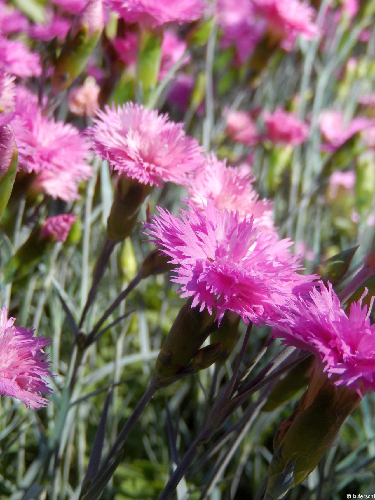 A májusi szegfű (Dianthus gratianopolitanus) illata is elbűvölő élénk rózsaszínje mellett