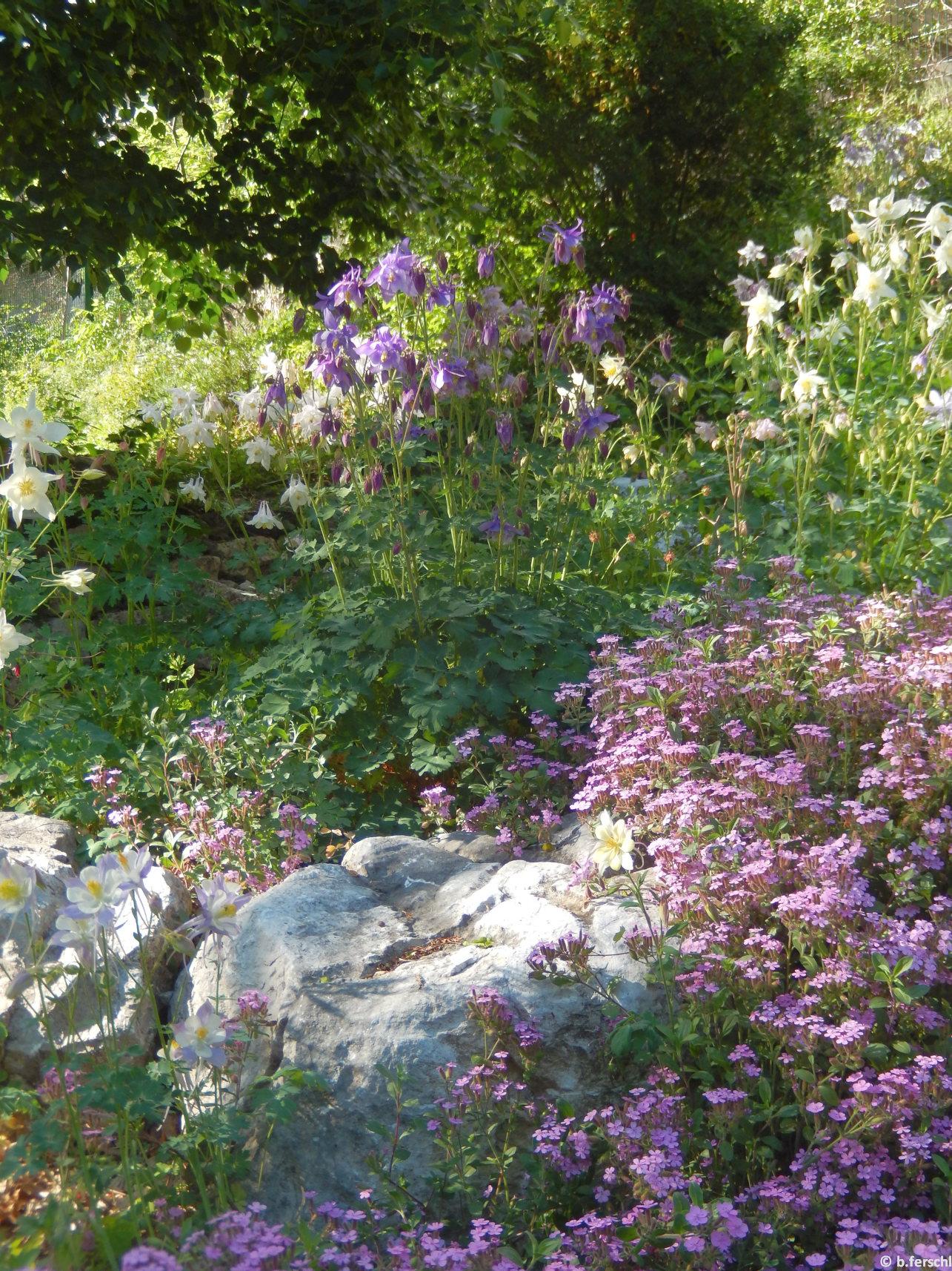 A sziklakert legnépesebb, virágzó évelője májusban a harangláb (Aquilegia vulgaris)
