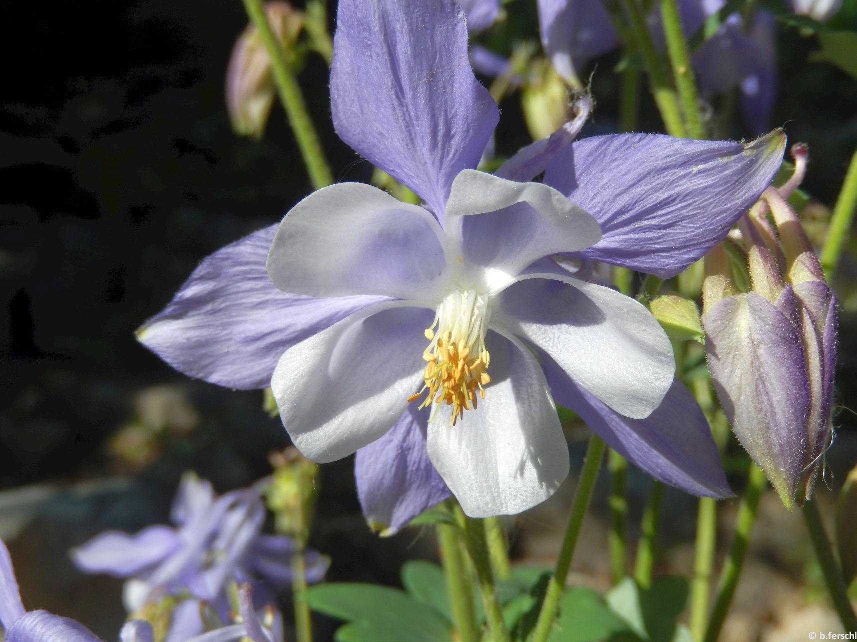 Harangláb (Aquilegia vulgaris)