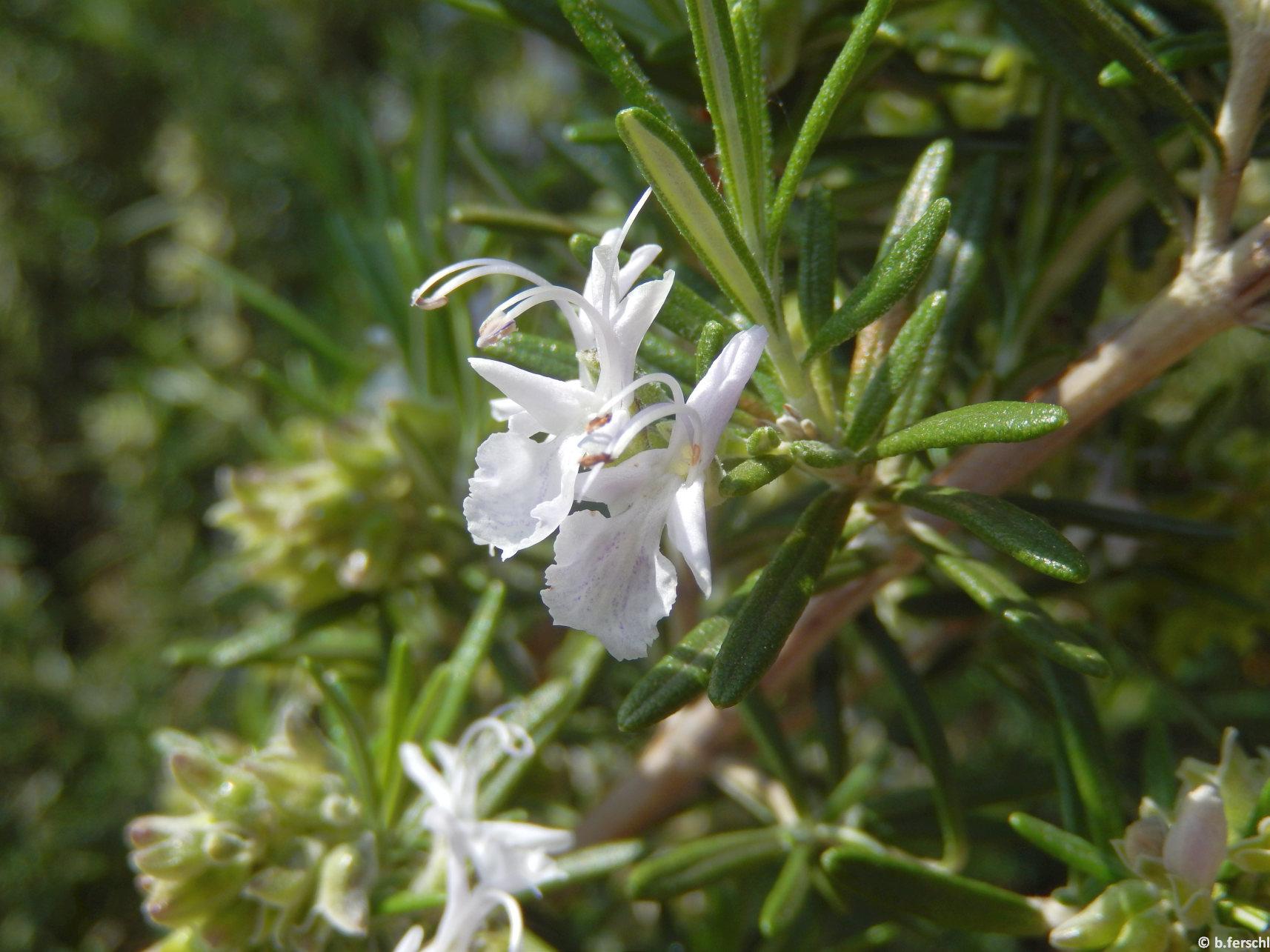 Rosmarinus officinalis ajakos virágai