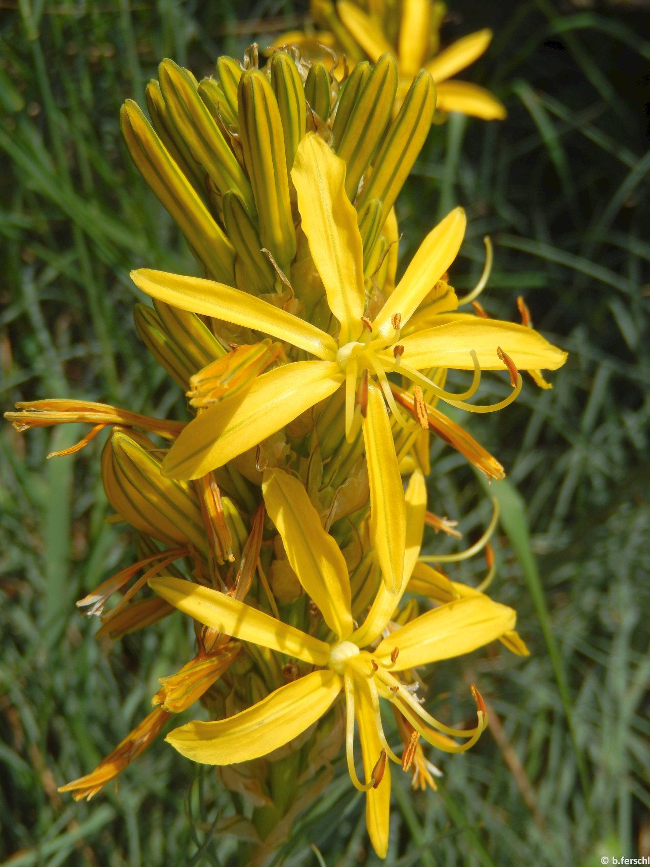 Védett zugban díszlik a sárgagyertya (Aphodeline lutea)