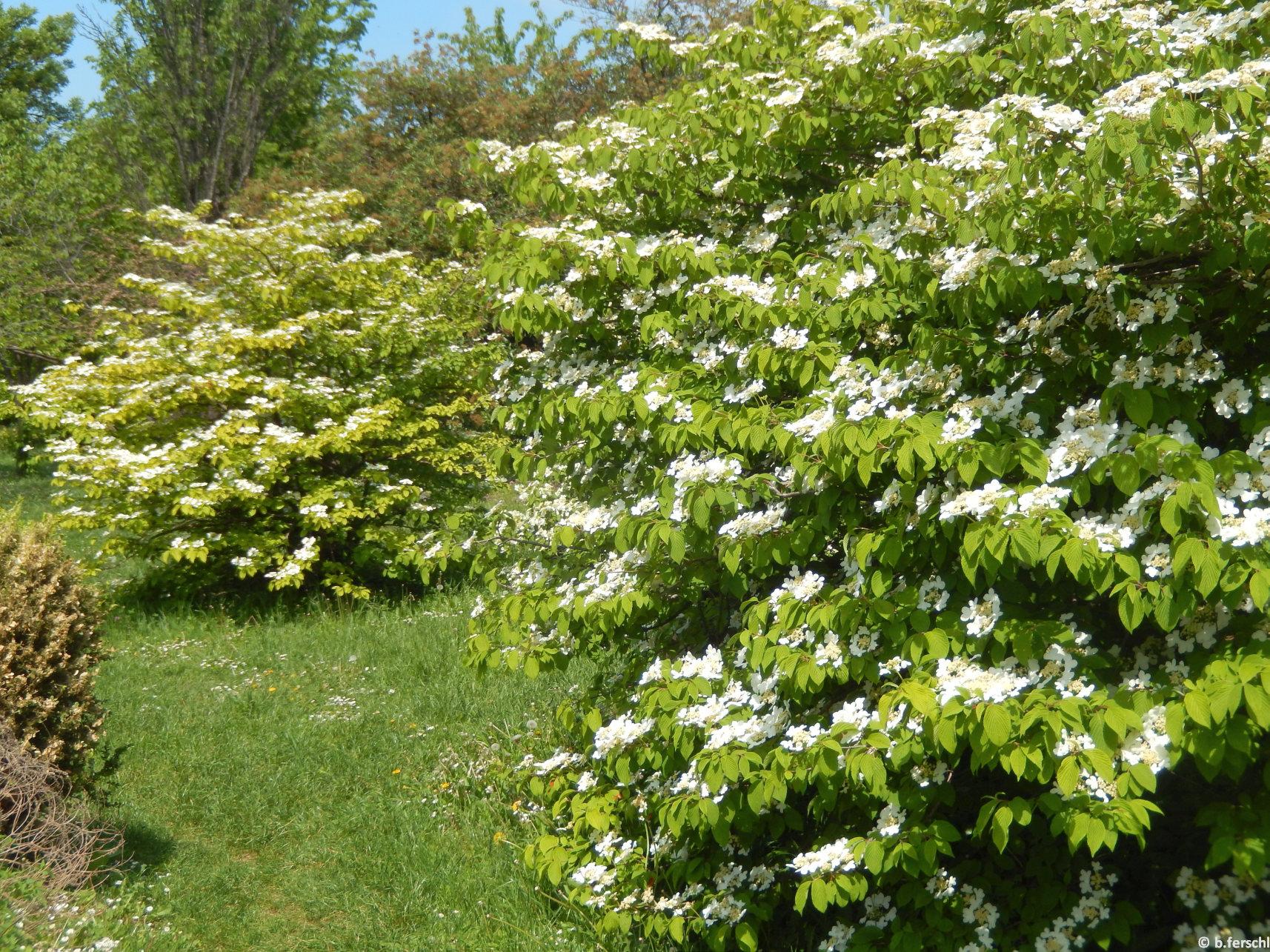 A Bangitagyűjtemény legszebb májusi faja a redőslevelű bangita (Viburnum plicatum)