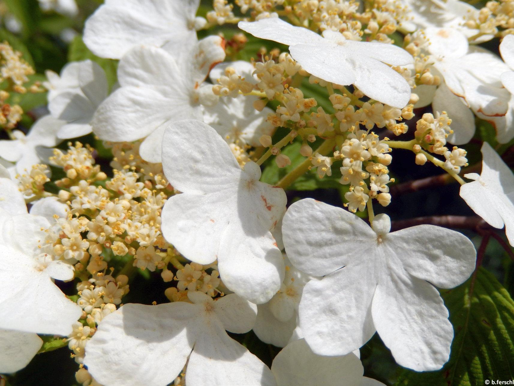 A Viburnum plicatum érdekes felépítésű virágzata