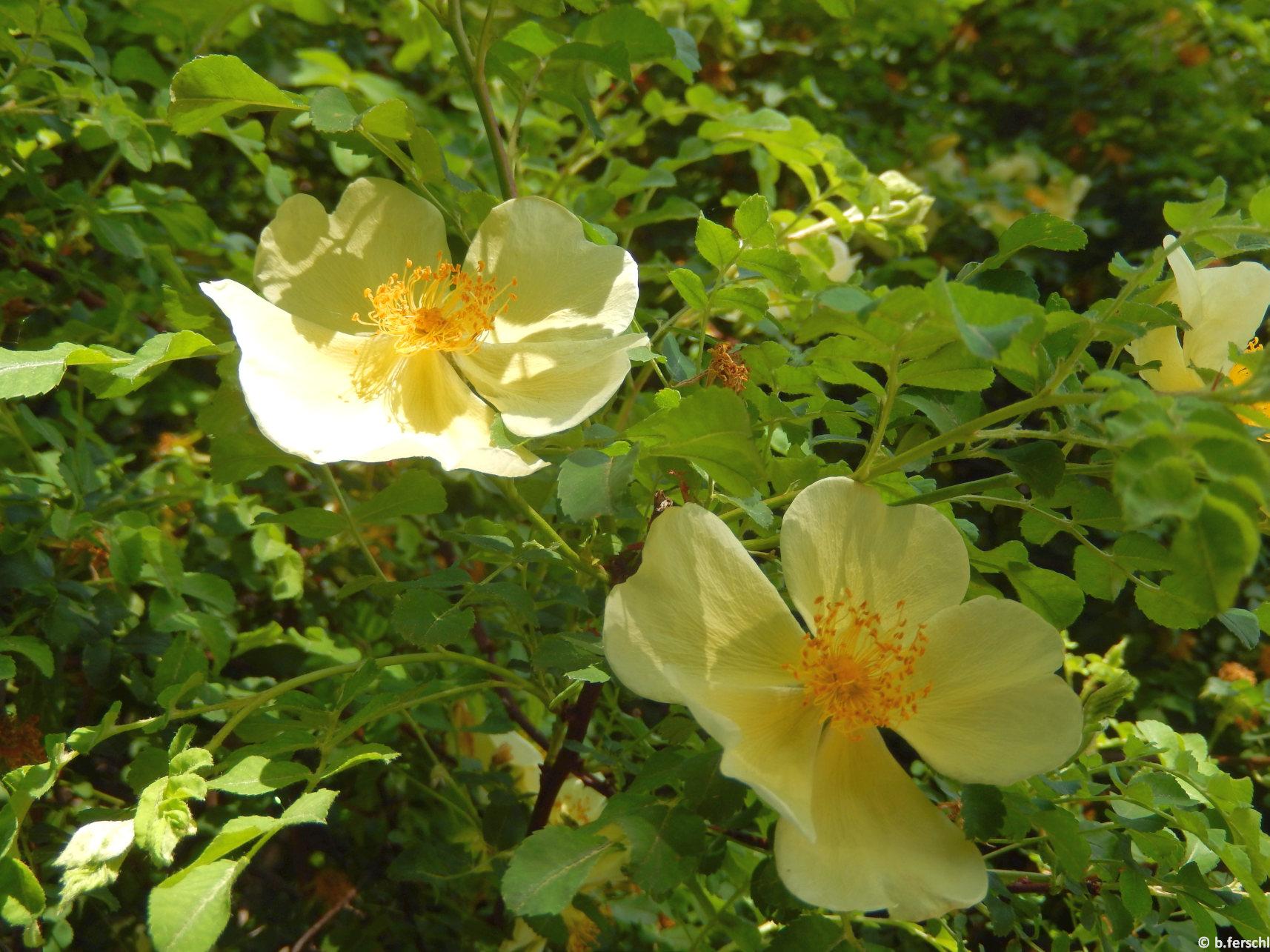 Az egyik legkorábban nyíló rózsafaj a Rosa hugonis