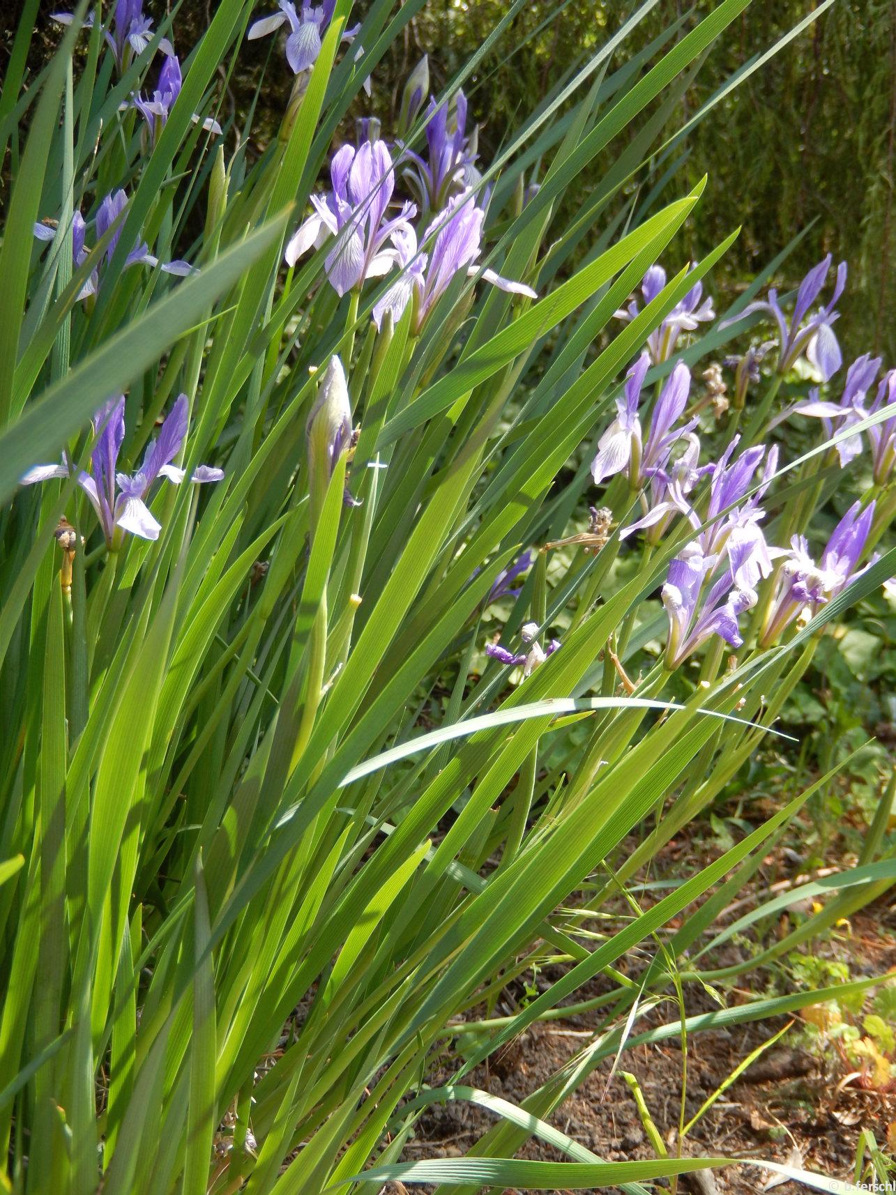 A pázsitos nőszirom (Iris graminea) kecses kék virágait bőven hozza május elején