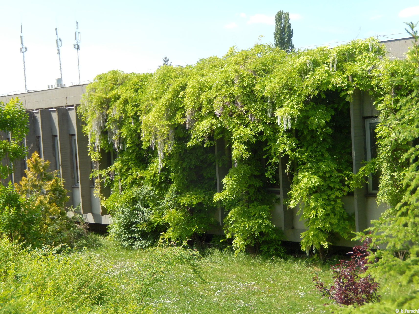 Már virágzik a K-épület betonfalára kúszó, hatalmas lilaakác (Wisteria sinensis)