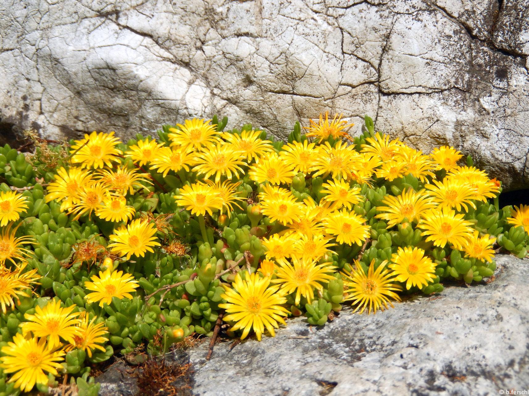 Delosperma nubigenum pozsgás levélkéi és élénksárga virágai a sziklakertben