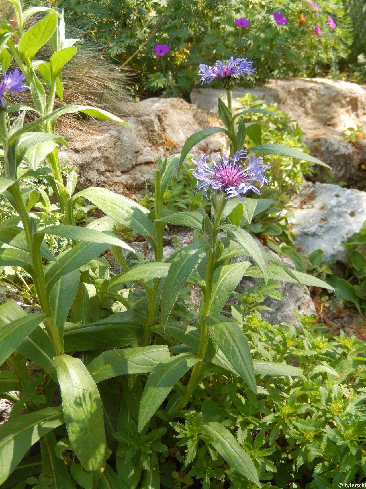 Centaurea montana a sziklakertben