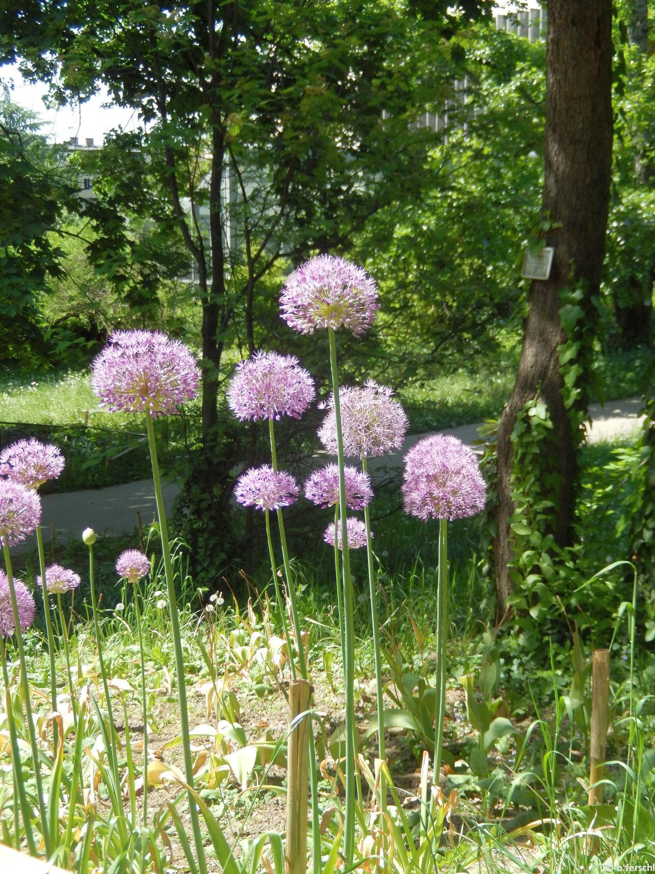 Allium giganteum az A-épület felé vezető út mellett
